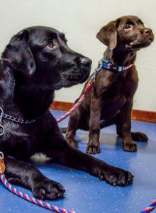 Labrador dog and puppy